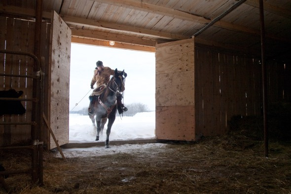 Matt Graveley rides into the barn, with a newborn calf in tow.